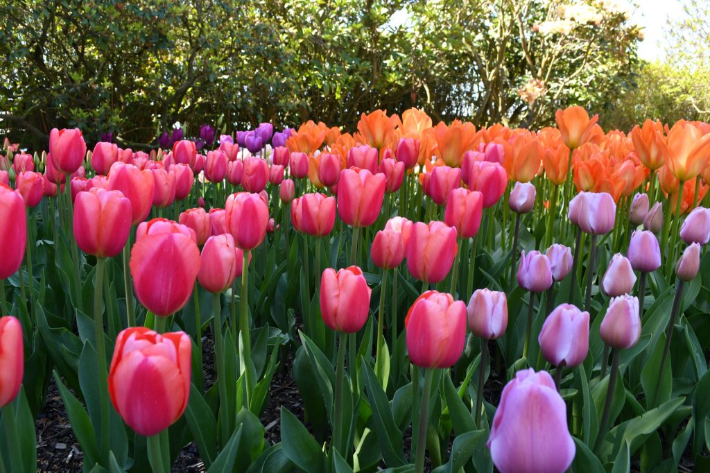 Spring Tulips   Style Maker Fabrics